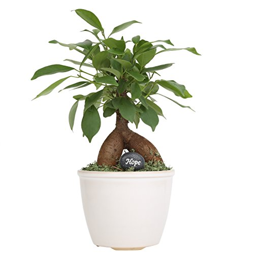 Costa Farms, Premium Live Indoor Mini Bonsai, Ficus 'Ginseng', Tabletop Plant, White Ceramic Planter, Shipped Fresh From Our Farm, Excellent Gift