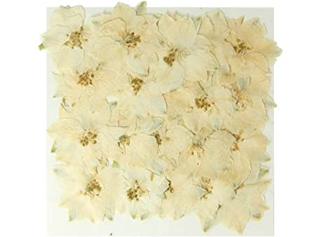 Pressed real dried flowers white larkspur 20 pieces art craft pressed real dried flowers white larkspur 20 pieces art craft card making mightylinksfo