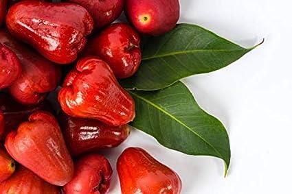 Creative Farmer Outdoor Plants Red Chambakka Dwarf Rare