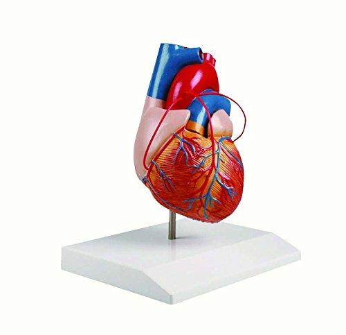 心臓2分解モデル(バイパス付) G205 松吉医科器械 24-5096-00   B076CKPQ1Z