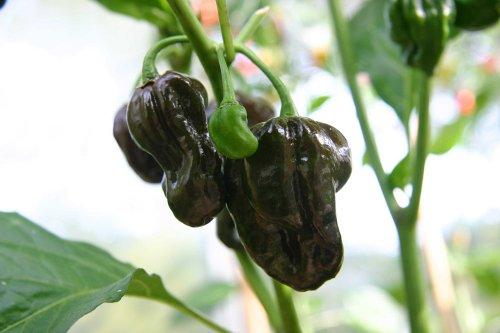 Jamaican Hot Chocolate - Jamaican Hot Chocolate Habanero Pepper 4 Plants