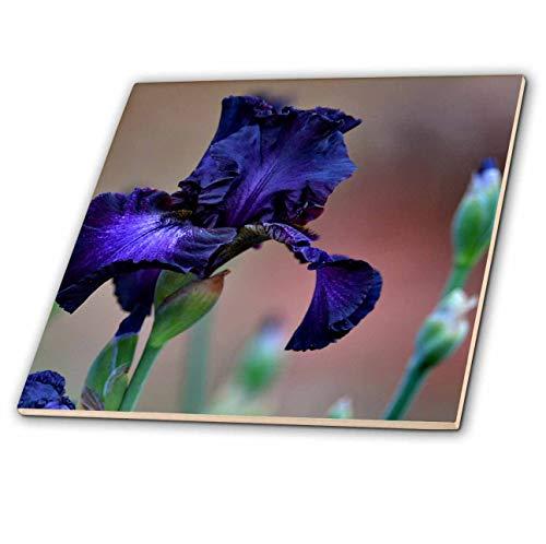 3dRose WhiteOaks Photography and Artwork - Iris Flowers - Purple Iris Royalty is a Rich deep Purple Garden Iris Flower - 4 Inch Ceramic Tile (ct_193027_1)