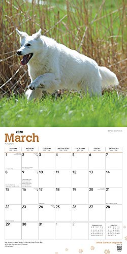 White German Shepherds 2020 12 x 12 Inch Monthly Square Wall Calendar, Animals Dog Breeds 3