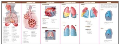 Anatomy and Disorders of the Respiratory System: Study Guide (Anatomical Chart Company's Illustrated Pocket Anatomy) Anatomy and Disorders of the Respiratory System: Study Guide (Anatomical Chart Company' s Illustrated Pocket Anatomy) 9780781776868