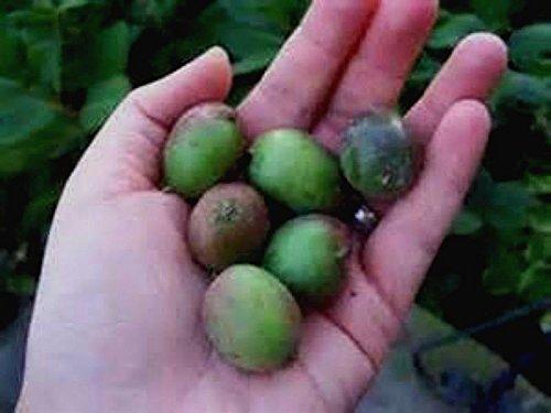 Anna Kiwi Seeds! Grows 100#