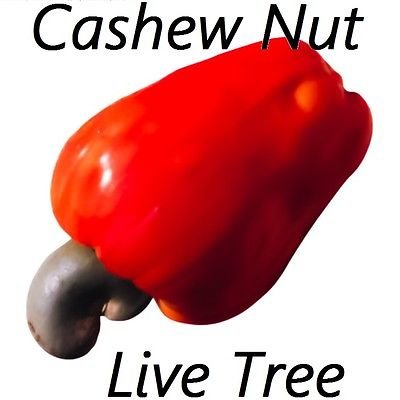 (LIVE TREE In 4