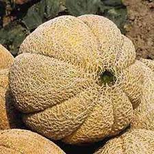 "(FCAN)~""SUPERSTAR HYB."" CANTALOUPE~Seeds!!!!~~Yum!!!"
