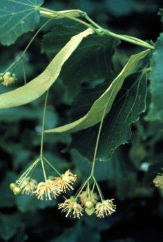 Tilia cordata: Littleleaf Linden Seeds