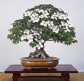 Chinese Kousa Dogwood 10 Seeds - Cornus - (Cornus Kousa Dogwood Tree)