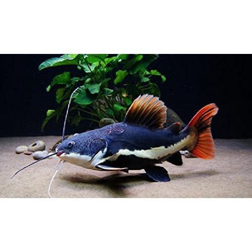 Freshwater Live Fish Cichlids Amazon Com