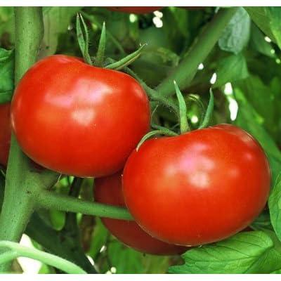 Tomato Krypton-1 Seeds (avg 30-50) Seeds 5 : Garden & Outdoor