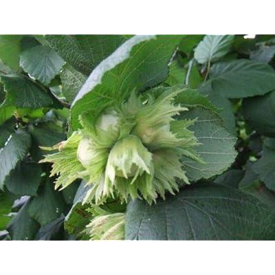 Tree Seeds - 4 Seeds of American Hazelnut, (Filbert), Corylus Americana (Edible, Showy Fall Color) : Garden & Outdoor