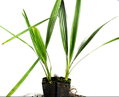 Canary Island Date Palm Live 2 Plant Pack Easy to Grow 7-12 Inches Tall 1-2 Years Old ()