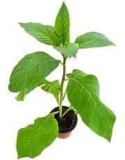 Belladona Natural 10cm Atropa belladonna Planta en Maceta