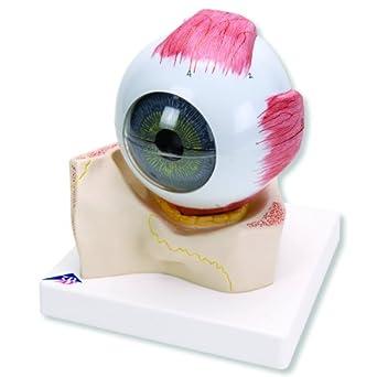 """3B Scientific F11 7 Part Eye Model, 5 Times Full-Size, 7.1"""" x 7.1"""" x 7.9"""""""