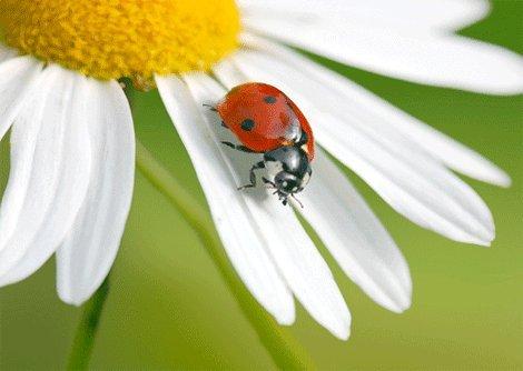 (Ladybug on an Ox-eye Daisy- Wildlife- 3D Postcard Greeting Card)