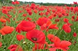 Red Flanders Poppies - 50,000 Seeds