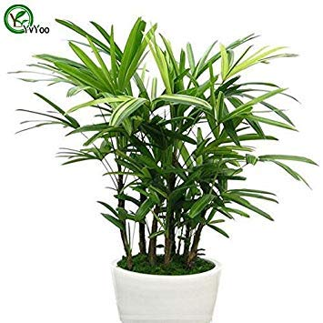 - Hot Sale! Office desks plant Palm Bamboo Seeds Bonsai Tree Seeds Very Beautiful Indoor Tree Home Garden plant 30 particles / bag seeds of hope