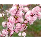 (1 Gallon) Pink Flowering Almond shrub-gorgeous rows of pink flowers, compact shrub,
