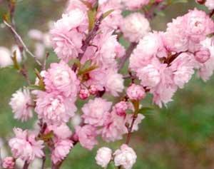 (1 Gallon) Pink Flowering Almond shrub-gorgeous rows of pink flowers, compact shrub,