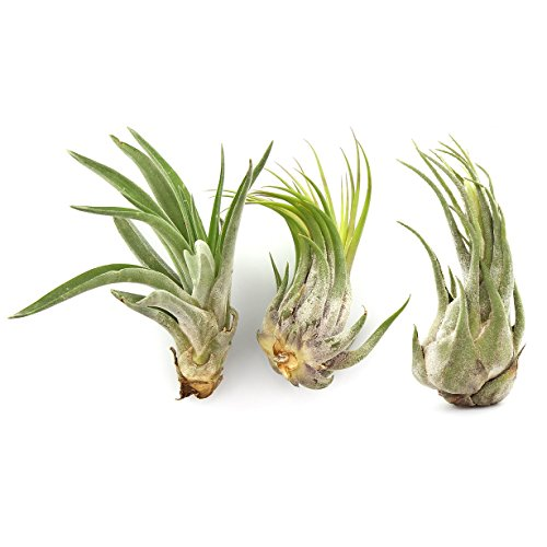 Large Tillandsia Air Plants Bundle of 3