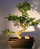 Bonsai Boy's Flowering Fukien Tea Bonsai Tree ehretia microphylla