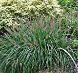 5 Black Fountain Grass - Pennisetum alopecuroides 'Moudry'' - Five Live Plants