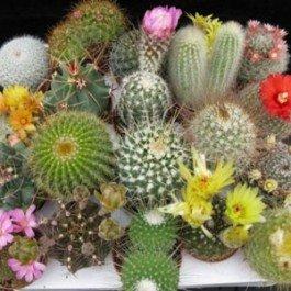 Cactus Seed Mix - 100 seeds CactusPlaza.com