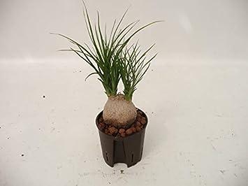 Elefantenfuß 40-50 cm schöne Zimmerpflanze in Hydrokultur ...