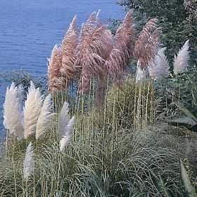 Cortaderia selloana Pampas Grass Mix 2,000 seeds