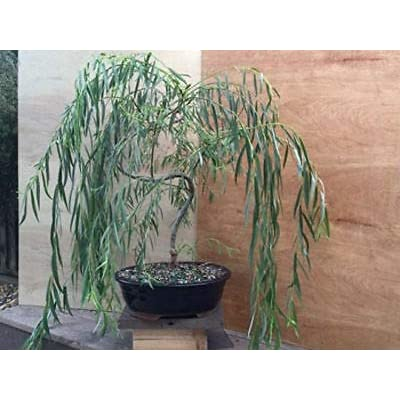 Weeping Willow (Bonsai Tree) Large Thick Trunk, Live Plant Outdoor Yard Best Gift : Garden & Outdoor