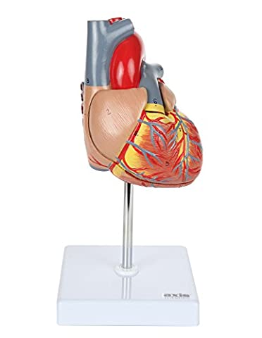 Axis Scientific 2 Part Deluxe Life Size Human Heart Anatomy Model Mounted on White Base, Includes Colorful Product Manual and 3 Year Warranty