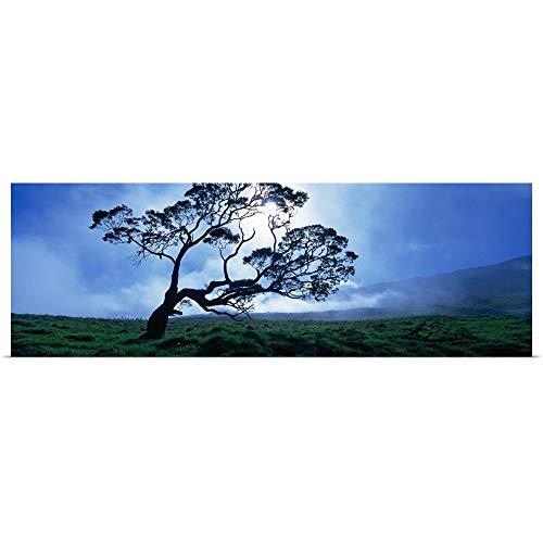 GREATBIGCANVAS Poster Print Entitled Koa Tree on a Landscape, Mauna Kea, Kamuela, Big Island, Hawaii by 36
