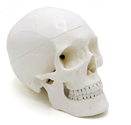 Human Adult Skull Anatomical Model, Medical Quality, Life Sized (9