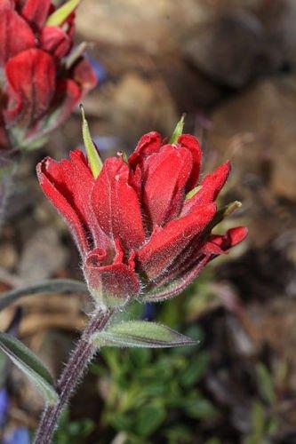 50 INDIAN PAINTBRUSH Castilleja Indivisa Flower Seeds