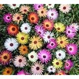JustSeed - Flower - Mesembryanthemum Harlequin 1500 Seed