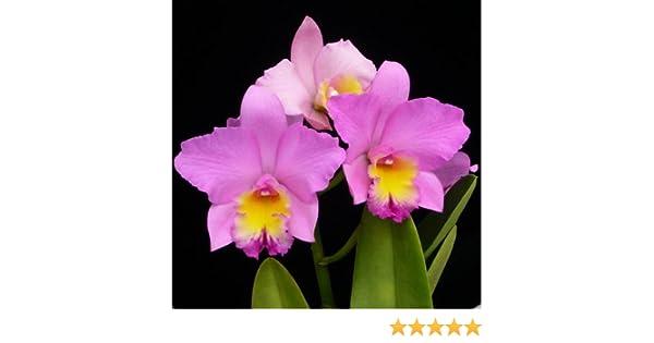 akatsuka orchid gardens coupon codes. amazon.com : rlc. volcano parade \u0027volcano queen\u0027 (mature size-pink cattleya orchid) garden \u0026 outdoor akatsuka orchid gardens coupon codes