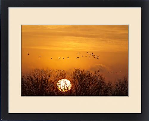 Framed Print of Sandhill cranes silhouetted aginst the rising sun as they leave the Platte River by Fine Art Storehouse