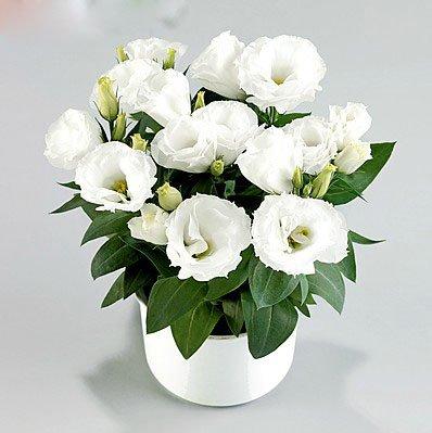 200rare Bianco Eustoma Semi Perenni Fiorite Piante Da Balcone Fiori In Vaso  Semi Lisianthus Per Fioriere