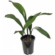 "Green Flame Cast Iron Plant - Aspidistra - Grows in Dim Light - 6"" Pot"