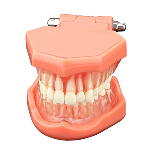 Dentalmall 1 Pc Dental Study Teaching Model Standard Model Removable Teeth #7005