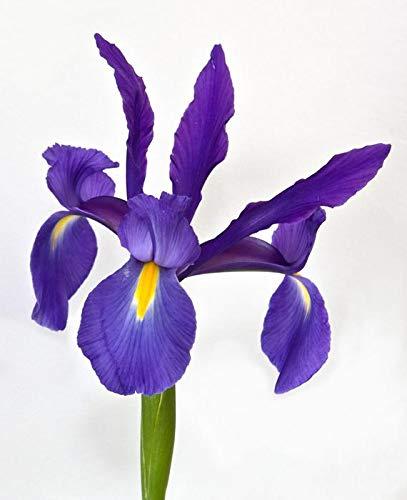 Sapphire Beauty Dutch Iris 20 Bulbs, Summer flowering, Perennial Iris Bulbs, Beauty Majestic Blue Yellow Flower!