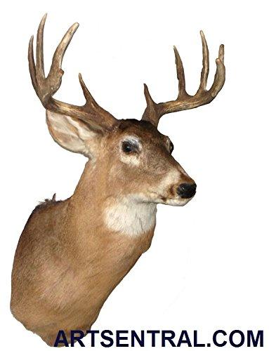 Deer Head Mount >> Amazon Com Deer Shoulder Mount Real Deer Head Mount Taxidermy