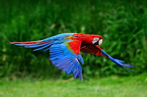 Home Comforts Framed Art for Your Wall Green Wing Macaw Parrot Banner Red Blue 10 x 13 -
