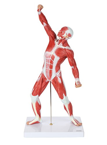 Axis Scientific Miniature Human Muscule Figure | 20 Inch Mini Muscular System Model has Superficial Muscle Anatomy and Structure of the Body | Includes Detailed Product Manual | 3 Year Warranty