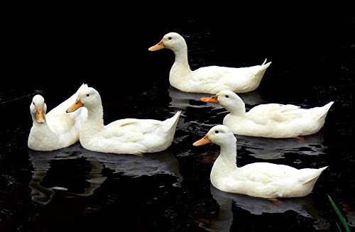 Aylesbury Ducks - Home Comforts Canvas Print Aylesbury Ducks Swimming Birds Lake Water Wildlife Vivid Imagery Stretched Canvas 32 x 24
