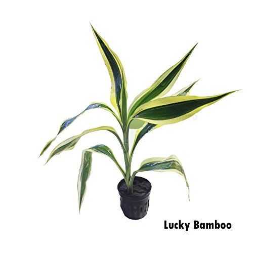 Lucky Bamboo Dracaena Potted Live Aquatic Plant for Aquarium Freshwater Fish Tank by Greenpro