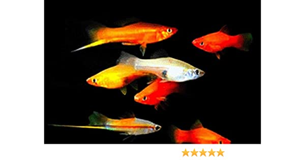 Swordtail Fish - Tropical Aquarium Fish Guide {Red/Pineapple ... | 315x600