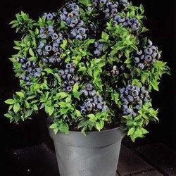 Awesome Highbush Blueberry 50 Seeds   Vaccinium   Edible/Plant