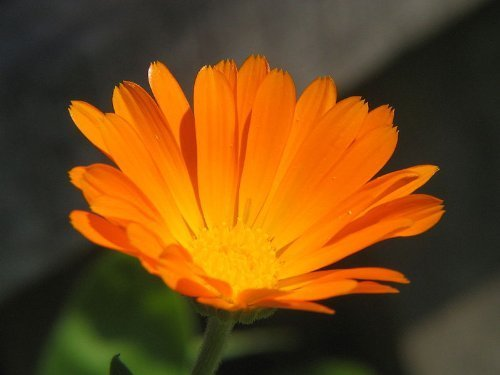 Marigold Pots (100 ORANGE ENGLISH MARIGOLD (Scotch / Pot Marigold) Calendula Officinalis Flower)